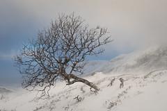 Still standing (hanschristian_nielsen) Tags: norge skiferie norway filefjell tree sky cloud birch snow winter rock
