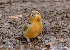 DSC4297  Crossbill... (Jeff Lack Wildlife&Nature) Tags: crossbill crossbills redcrossbill commoncrossbill birds avian animal animals wildlife wildbirds woodlands forest forests forestry forestofdean pineforest conifer trees countryside nature wildlifephotography jefflackphotography pines conifirs firs