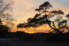 Yellow sky in the evening (jan.vd.wolf) Tags: soesterduinen sunset soest utrecht nederland nl yellow sky tree boom bos forest zonsondergang
