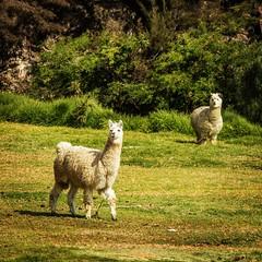 Alpaquitas de la sierra Peruana (Inti Runa) Tags: canoneosm5 canonefm18150mm peru alpaca southamerica animalplanet animal tourism adventure travelphotography andes