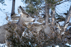 Two mule deers eating grasses and twigs from a bush in winter (m01229) Tags: grass buck cute nature bark young meadow brown animal hemionus banffnationalpark male antler herbivore hoofed life black canada ungulate eating free face grazing back flower mammal pasture doe wildlife winter feed graze wild mule green head fur alberta ruminant forest ears deer looking park outdoors muledeer alert field