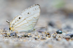 Cyrestis cocles earli (Marbled Map) 八目絲蛺蝶 (Nelson Wong Wildlife) Tags: cyrestiscoclesearli marbledmap 八目絲蛺蝶 cyrestiscocles nymph lepidoptera butterfly animal insect wildlife nature malaysia sony a7 tamron 180mm macro