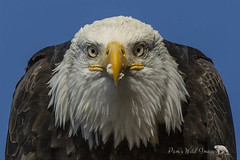 Bug Off (PamsWildImages) Tags: bc bird baldeagle raptor nature naturephotographer wildlife wildlifephotographer canada canon pamswildimages pammullins