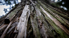 . (The eclectic Oneironaut) Tags: 2018 6d canada canon eos columbiashuswapa britishcolumbia canadá ca wood surface forest arbol madera corteza