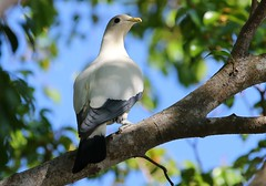 Torresian Imperial Pigeon 101018 (3) (F) (Richard Collier - Wildlife and Travel Photography) Tags: birds australia australianbirds wildlife nat torresianimperialpigeon naturethroughthelens