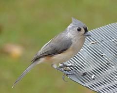 Tufted Titmouse_Oct30_2018 (Bob Vuxinic) Tags: bird 30oct2018 cumberlandplateau crossvilletennessee sunflowerseedfeeder tuftedtitmouse baeolophusbicolor