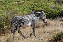Male Grevy's Zebra (Susan Roehl) Tags: kenya2015 lewawildlifeconservancy lewadowns kenya eastafrica grevyszebra equusgrevyi mammal animal outdoors imperialzebra largestzebra mostendangered narrowerstripes largeears sueroehl naturalexposures photographictours lumixdmcgh4 panasonic 100300mmlens handheld grassland slightlycropped ngc coth5