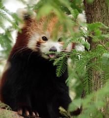 red panda Blijdorp 094A0652 (j.a.kok) Tags: panda redpanda rodepanda kleinepanda animal asia azie china mammal zoogdier dier blijdorp babypanda blijdorpzoo