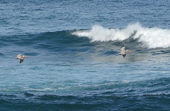 DSC_0256 (afagen) Tags: california pacificgrove asilomarstatebeach montereypeninsula asilomar beach pacificocean ocean bird