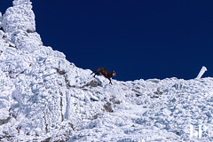 Chamois (Gams) in Făgăraș (rungegraphy) Tags: chamois gams fagaras sibiu romania canon 80d mountains mountainside snow