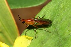 Diptera sp. (Fly) - Entebbe, Uganda (Nick Dean1) Tags: animalia arthropod hexapoda hexapod insect insecta uganda lakevictoria entebbe diptera fly