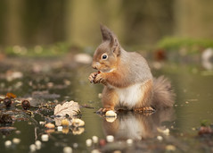 Red Squirrel (cazalegg) Tags: red squirrel scotland nuts forest woods wildlife mammal nikon