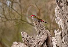 Red-browed Finch (James_Preece) Tags: redbrowedfinch estrildidae m43 neochmiatemporalis