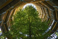 looking up - a beech in a wooden view tower at Naturerbe Zentrum Rügen (stefanfricke) Tags: tree beech lookingup tower rügen naturerbe zentrum sony ilce7rm2 sel1635z
