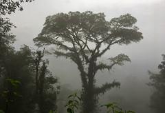 Guacamayos Ridge trail (aka Gumandi trail).  Ecuador. (cbrozek21) Tags: jungle cloudforest ecuador guacamayosridge gumanditrail selva fog tree forest nature weather flickrtravelaward