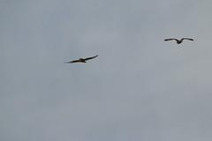 IMG_9772 (monika.carrie) Tags: monikacarrie wildlife seo shortearedowl forvie scotland owl