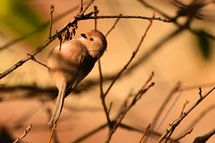 "American-Bushtit_02 (DonBantumPhotography.com) Tags: wildlife nature birds animals americanbushtit smallgoldenbrownbird ""donbantumphotographycom"" ""donbantumcom"""