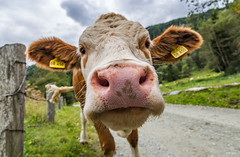 Prying Cow 😊 (BIngo Schwanitz) Tags: 2017 bingoschwanitz bingos d500 ingoschwanitz nationalpark nationalparkhohetauern nikkor nikon nikonafs16801284eed nikond500 osttirol outdoor prägraten virgen virgental österreich