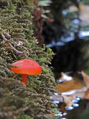 Red surprise EXPLORED! (Shahrazad26) Tags: paddenstoel mushroom champignon pilze landgoedclingendael clingendael japansetuin japanesegarden jardinjaponais herfst autumn herbst najaar automne denhaag sgravenhage thehague lahaye zuidholland nederland holland thenetherlands paysbas