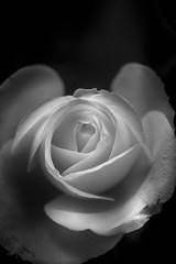 Rose (mellting) Tags: eskilstuna lã¤genheten nikond500 platser bloggad extensiontube flickr instagram matsellting mellting nikkor5018 nikon sverige sweden rose rosa ros flower plant monochrome blackandwhite bnw