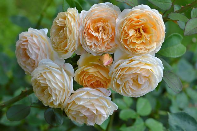 Обои розы, бутоны, жёлтые розы картинки на рабочий стол, раздел цветы - скачать