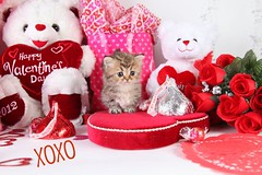 Cute Kitten Pictures (dollfacepersiankittens.com) Tags: persian kittens for sale doll face teacup gold golden cutekittenpictures cutecatpictures cutekittens cutecats cat breeders catsofinstagram