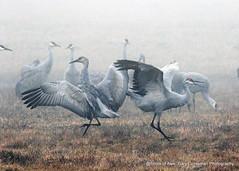 Fog Dancers (Gary Grossman) Tags: cranes fog dancing dancers birds flock ridgefield winter northwest washington february wildlife nature garygrossman garygrossmanphotography sandhillcranes fogdancers densefog groundfog pacificnorthwest wildlifephotography ridgefieldnationalwildliferefuge o