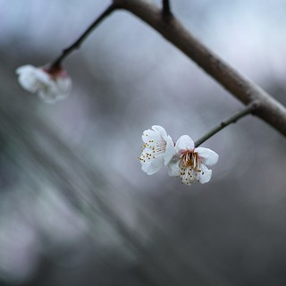 Japanese apricot White (3/3)