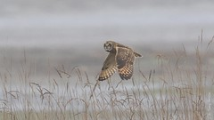Short-eared Owl (Asio flammeus) (Tony Varela Photography) Tags: asioflammeus canon owl photographertonyvarela seow shortearedowl shortearedowlflight