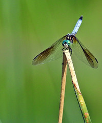Dragonfly - Libellule (P9_DSCN9373-1PE-20180816) (Michel Sansfacon) Tags: dragonfly libellule nikoncoolpixp900 parcnationaldesîlesdeboucherville parcsquébec faune