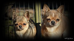 chihuahua (South West Unicorn Photography) Tags: chien chiens chihuahua chihuahuas dog dogs animal animaux nature natur flickr nikon nikkor