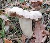 Entoloma lividum (Pietro Niolu) Tags: fungo fungi entolomataceae entoloma entolomalividum sardegna villanovamonteleone