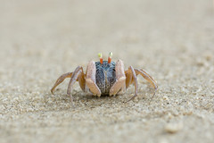 little cute round crab on sand (elmanther123) Tags: crab animal creature claws shell tropical beach biology marine life alive aquatic sealife sandy raw one isolated food seascape nipper pimcer sunlight bay alert defend ecology attack closeup