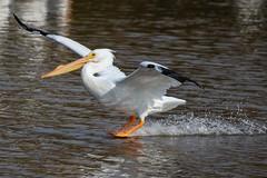 Putting on the brakes! (EXPLORE) (avilacats) Tags: flight landing sunny winter water osoflacolake whitepelican