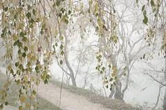 Mañana con niebla. Morning foggy in Ebro river (marisabosqued) Tags: niebla fog highkey clavealta río river ebro árbol tree zaragoza aragón españa spain snapseed