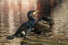 Grands cormorans (Oric1) Tags: breizh france cormorant oric1 légué côtesdarmor ornithology port canon cormoran armorique animal jeanlucmolle bird ornithologie grand eos harbour bretagne 22 brittany watching oiseau