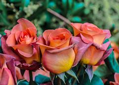 Designer Rose,s. (Omygodtom) Tags: sammysflowers flower flickr rose design natural nature nikon outside macro nikon70300mmvrlens red oregon coth5 nikkor d7100 bokeh dof