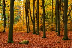 Beech Woods (Slav.Burn) Tags: beech woods autumn fall yellow leaves colors trees stone forest pentaxsmcda35mmf24 pentaxart