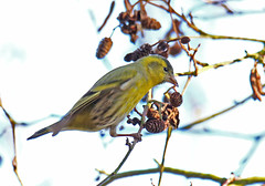 Siskin - Michael Bird (Michael R Bird) Tags: siskin yellow bird michaelbird ruffordcountrypark nottingham nottinghamshire lakes parks canon6d tamron 150600mm g2 sp