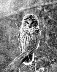 The Owl - 9331 (RG Rutkay) Tags: barredowl bird nature graphic sketch art rendering wildlife owl