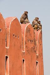 monkey family (irisnoack) Tags: monkey animals india architecture wall jaipur orange