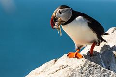 Macchias Island Puffins-659.jpg (dwb838) Tags: sealisland fish puffin rocks