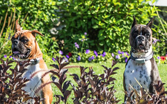 Two Boxers (Rennett Stowe) Tags: purebredboxers purebredboxer purebreddogs purebreddog purebred patientlywaiting wait watchful observing listening listen floppyear floppyears floppy beeare bite watchdogs buddies buddy companion companionship friends guarding waiting stalking staring watching eyes eye noses nose funnyears ear ears strikeapose pose dogstatues gardenstatues gardenstatue englishgarden garden what comicalanimals comicaldog comicaldogs comical sillyanimals sillyanimal silliness silly portraitoftwodogs portraitofadog portraits dogportrait portrait dog dogs twodogs twoboxers boxer boxers twoboxerdogs boxerdogs animal animals twoanimals cuteanimals cutedogs cutedog funny funnyanimals funnydogs hilarious juxtaposition barkcollar