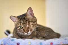 A9__DSC3139_C1 (Bazoka+Cynthia) Tags: cat 小婆 新北市 樹林區 貓 鼻孔