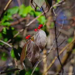 Along Waywayanda Trail_6881 (smack53) Tags: smack53 berries leaves autumn autumnseason fall fallseason waywayandastatepark vernon newjersey nikon d300 nikond300 njstatepark