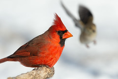 Northern Cardinal-46208.jpg (Mully410 * Images) Tags: birdwatching birding cardinal winter backyard northerncardinal bird birds cold photobomb goldfinch birder snow