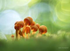 Orange Translucence:  Mycena leaiana (Eden Bromfield) Tags: mushrooms mycena mycenaleaiana edenbromfield cluster hardwood moss mycology fungi nature orangemycena fungus bokeh vintagelens meyeroptikgörlitzoreston canada