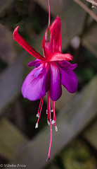 181104 151836 (Vibeke Friis) Tags: fushia flower inmygarden macro purple red