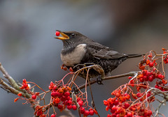 DSC9753  Ring Ouzel.. (jefflack Wildlife&Nature) Tags: ringouzel ouzel ouzels birds avian animal animals wildlife wildbirds wildlifephotography jefflackphotography moorland mountains mountain crags cliffs songbirds blackbird summermigrant berries countryside nature ngc npc