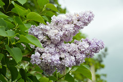 Lilac (Syringa) (Seventh Heaven Photography - (Flora)) Tags: lilac syringa purple flowers flora blooms nikon d3200 sky leaves